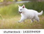 Stock photo white shepherd puppy is running on the meadow berger blanc suisse cute puppy 1430594909