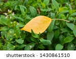 Yellow Leaf On Green Grass....