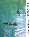 Mother duck and ducklings float ...