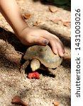 Stock photo elongated tortoise in the nature indotestudo elongata tortoise sunbathe on ground with his 1431003026