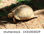 Stock photo elongated tortoise in the nature indotestudo elongata tortoise sunbathe on ground with his 1431003029