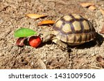 Stock photo close up baby african spurred tortoise resting in the garden slow life africa spurred tortoise 1431009506