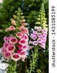 Flower Of Digitalis Purpera ...