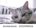 Stock photo beautiful british cat licking in bed and looking at the camera pet comfortably in a homely 1431098426
