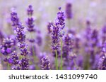 provence and  lavender field.... | Shutterstock . vector #1431099740