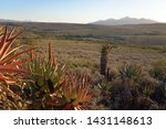 Aloes In The Karoo   South...