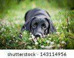 Stock photo dog labrador nature of water 143114956