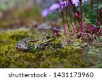 The marsh frog (Pelophylax ridibundus) is the largest frog native to Europe and belongs to the family of true frogs.