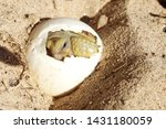 Stock photo africa spurred tortoise being born tortoise hatching from egg cute portrait of baby tortoise 1431180059