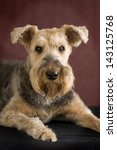 Small photo of Airedale Terrier laying down and close up