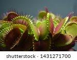 Dionaea Muscipula Typical form. Venus Flytrap - Predatory plant, Carnivorous Plant