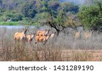 Common Eland  Taurotragus Oryx  ...