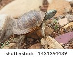Desert Box Turtle  Terrapene...
