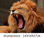 Stock photo hungry lion is roaring and showing tongue and teeth 1431452726