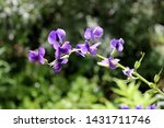 Baptisia Australis  Commonly...