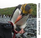 Adult Royal Penguin  Eudyptes...