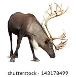 large male reindeer. isolated... | Shutterstock . vector #143178499