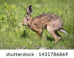 Stock photo wild brown hare running across the meadow in the morning light 1431786869