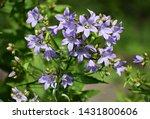 flowers of campanula...
