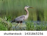 A Great Blue Heron At The Edge...