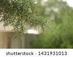 Close Up Of The Green Cedar...