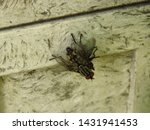 Insect called european blowfly  ...