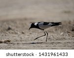 The Blacksmith Lapwing Or...