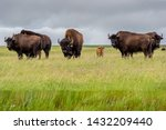A Herd Of Plains Bison With A...