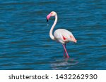 Greater Flamingo In A  Lake