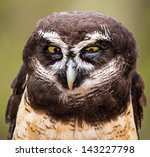 A Spectacled Owl Gives A Hard...