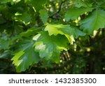 Summer Green Leaves Of A Daimyo ...