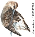 Curlew. Watercolor Painting....