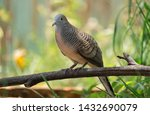The Spotted Dove Or  Spilopeli...