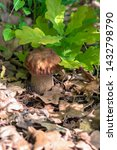 Mushroom Boletus Edulis In The...