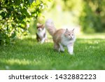 Stock photo front view of a beige white maine coon cat with fluffy tail walking away from tabby british 1432882223