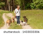 Stock photo dog sitter walks with many dogs on a leash dog walker with different dog breeds in the beautiful 1433033306