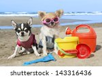 Stock photo portrait of a cute purebred chihuahuas on the beach 143316436