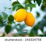 Two Ripe Lemons Hanging On A...