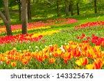 Bed Of Tulips In A Garden Of...