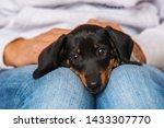 Stock photo cute dachshund puppy lying on human knees 1433307770