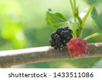 Mulberry Berry Ripens On A...