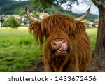 Highland Cow On Meadow In...