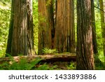 Three huge redwood trees in a redwood forest in the Redwood and California national park in northern California - stock photo