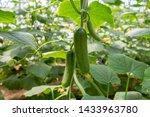 Green Cucumber Growing In Field ...