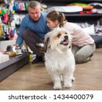 Stock photo little havanese waiting while its owners choosing dog accessories in pet shop 1434400079