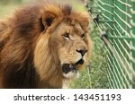 Caged Lion Male Near Electric...
