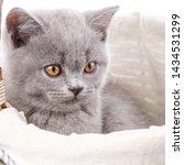 Stock photo scottish straight kitten funny furry kitten carefully watching the gray kitten in the basket 1434531299