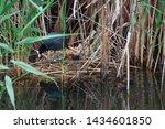 The Eurasian Coot  Fulica Atra...