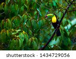 Toucan From Costa Rica....