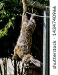 Stock photo the slaughter of the animal hare animal slaughter the death of the hare rabbit meat 1434740966